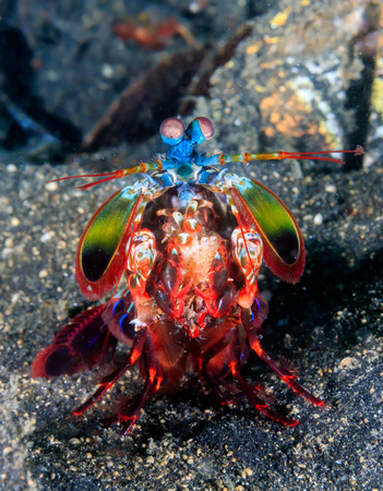 Vividly colored Peacock Mantis Shrimp on a black sandy seabed Stock Photo