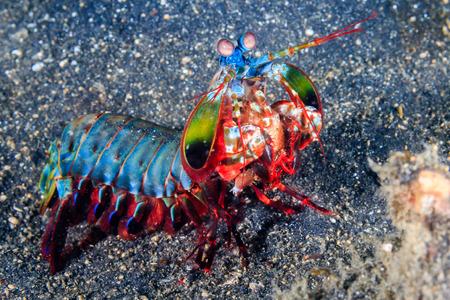 Vividly colored Peacock Mantis Shrimp on a black sandy seabed Standard-Bild