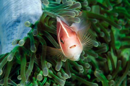 clownfish: Skunk Clownfish en una an�mona verde