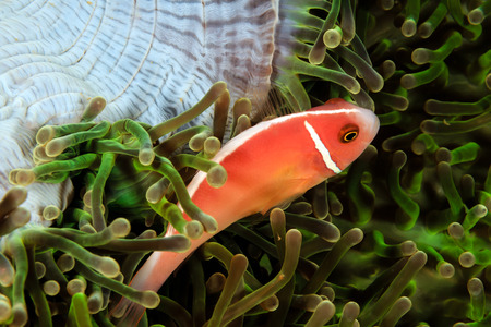 pink anemonefish: Skunk Clownfish in a green anemone Stock Photo