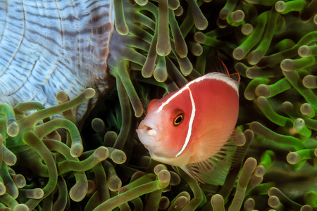 live coral: Skunk Clownfish in a green anemone Stock Photo