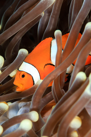 clown fish amphiprion: False Clownfish in an anemone Stock Photo