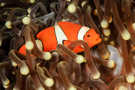 clownfish: Pacific Clownfish in a host anemone