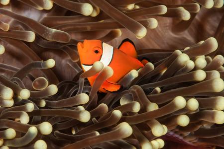 peces payaso: Pez payaso en una an�mona de acogida