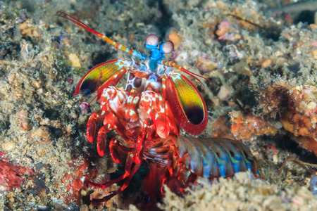 lembeh: Vividly colored Peacock Mantis Shrimp in a rock hole