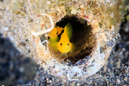 blenny: Pair of gobies in a discarded glass bottle Stock Photo