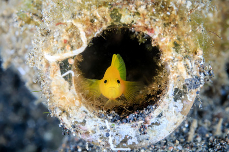 goby: A Goby in a discarded glass bottle on the seabed Stock Photo