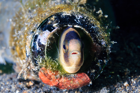 blenny: A fish hides in a discarded glass bottle on the seabed