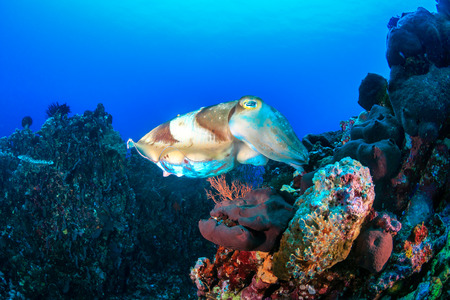 A large Cuttlefish swims across a coral reef Stock Photo