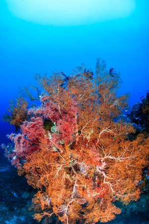 Brightly colored sea fans and soft corals on a tropical reef photo