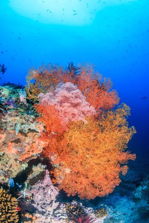 Vividly colored sea fans on a tropical coral reef photo