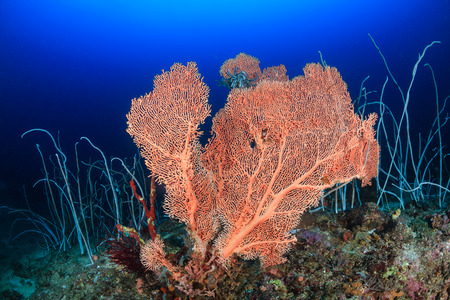A large sea fan and whip corals on a deep coral reef photo