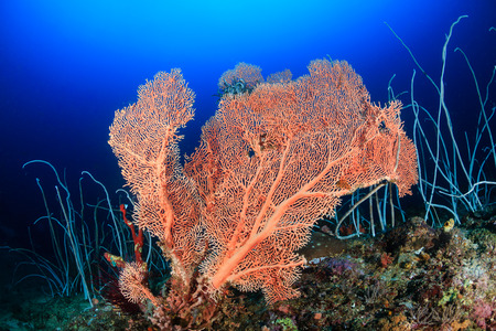 sea fan: A large sea fan and whip corals on a deep coral reef Stock Photo