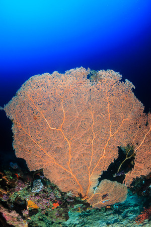 A large sea fan on a tropical coral reef photo