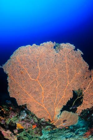 sea fan: A large sea fan on a tropical coral reef