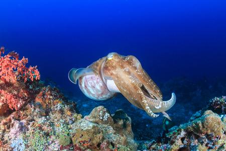 サンゴ礁に大きなイカ