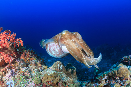 Large Cuttlefish on a coral reef