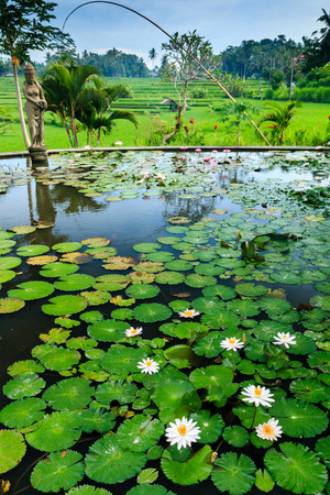 A Lilly Pond leading onto rice terraces in Bali, Indonesia