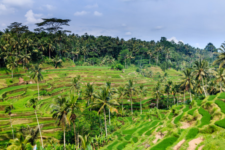 tegalalang: Rice terraces and jungle in Indonesia Stock Photo