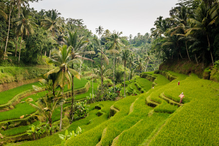 Beautiful rice terraces and jungle in Indonesia
