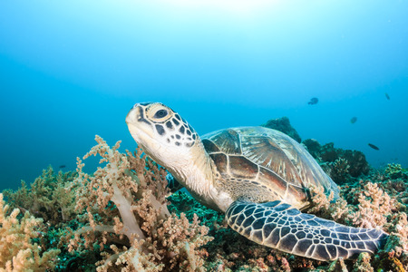 interraction: Green Turtle on a tropical coral reef Stock Photo