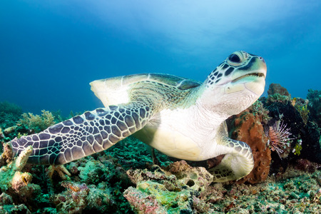 interraction: Green Turtle and Lionfish on a tropical coral reef Stock Photo