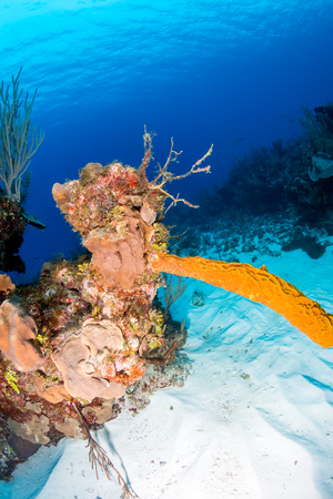 anthias fish: Sponges on a tropical coral reef
