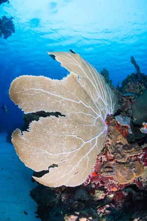 sea fan: Sea fan on a tropical reef