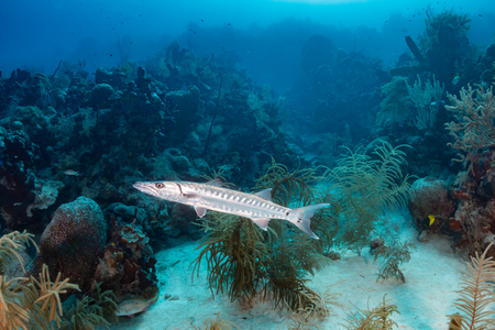red coral colony: Solitary Great Barracuda patrolling a coral reef