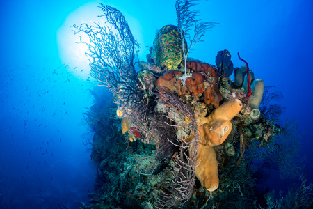 thriving: Thriving colorful corals on a tropical reef wall