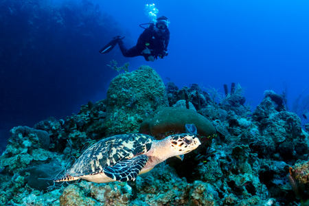 cayman islands: Female SCUBA diver and Turtle on a coral reef