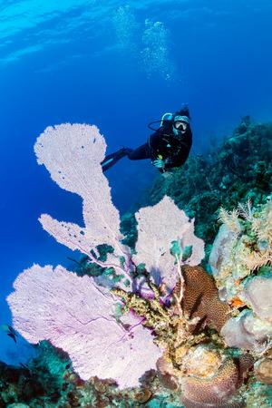 sea fans: SCUBA Diver and Sea Fans