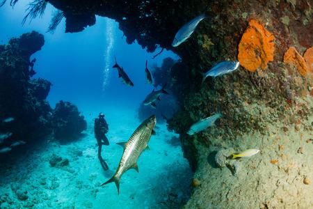 Tarpon and SCUBA Diver
