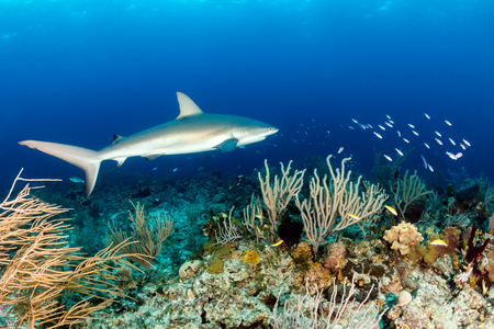 Shark swimming over a tropical coral reef Stock Photo