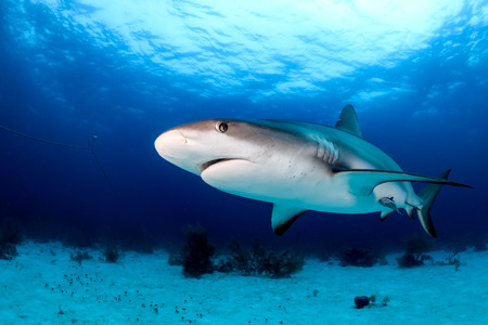 dangerous reef: Reef shark swimming near the sea bed in a tropical ocean Stock Photo