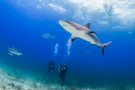 dangerous reef: SCUBA divers surrounded by sharks