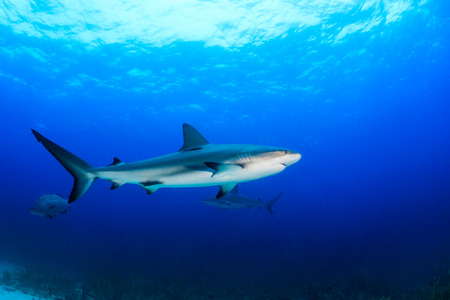 Reef sharks swimming in blue water