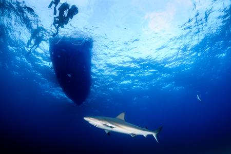 Caribbean Reef Shark waiting underneath a dive boat
