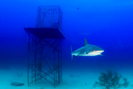Reef Sharks swimming near an underwater manmade structure