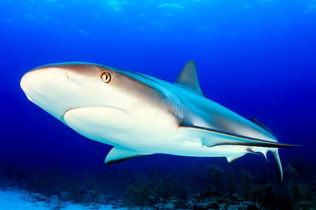 Close up Caribbean Reef Shark in the Bahamas