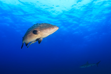 A large Nassau Grouper and background Reef Shark in blue water Stock Photo