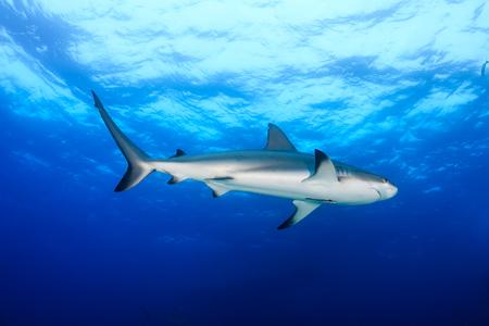 Reef Shark swimming in open ocean