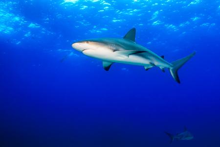 Caribbean Reef Sharks in Blue Water