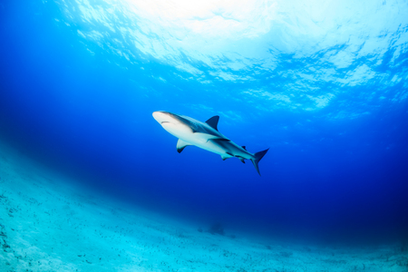 Caribbean Reef Shark over a sandy seabed