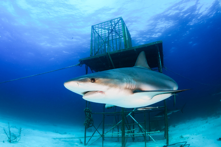 Reef Shark Swimming Next to a Manmade Structure