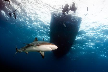 Reef Shark Circling Below a Dive Boat