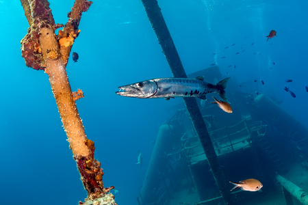 Large Barracuda around a sunken shipwreck Stock Photo