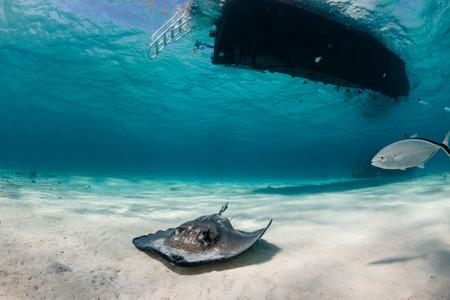 stingrays: Stingray swimming underneath a boat