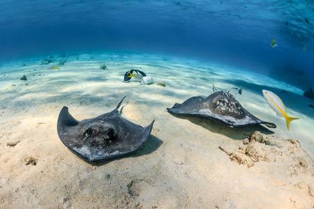 stingrays: Southern Stingrays swim across a shallow sandy seabed
