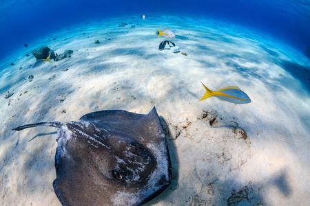 stingrays: Stingray on the sea floor